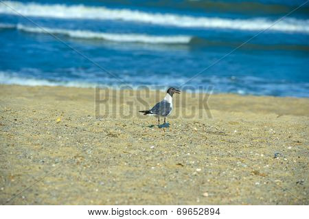 a black headed gull at a local beach