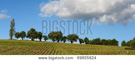 Vineyards In The Sunshine-vineyards Of Loupiac, Bordeaux Vineyards