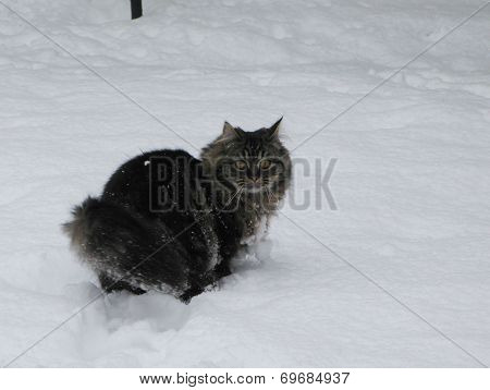 Long Haired Cat Playing In The Snow