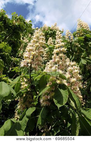 blooming chestnuts
