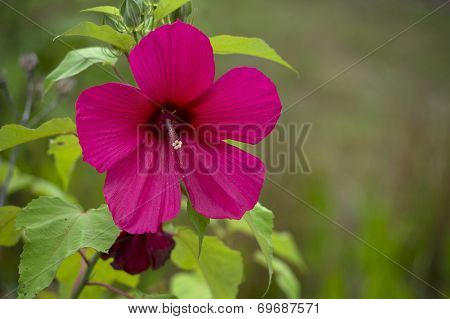 A hibiscus flower with copy space to the right