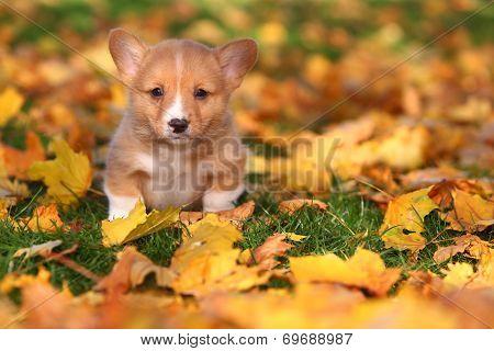Welsh Corgi puppy sitting in Autumn leaves