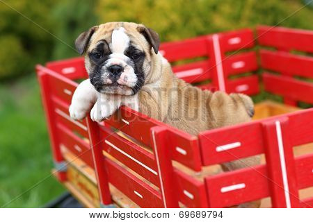 English Bulldog puppy riding in red wagon