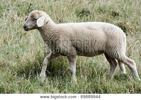 young sheep