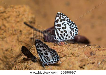 Common Pierrot Butterfly