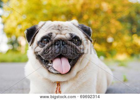 Little Funny Pug