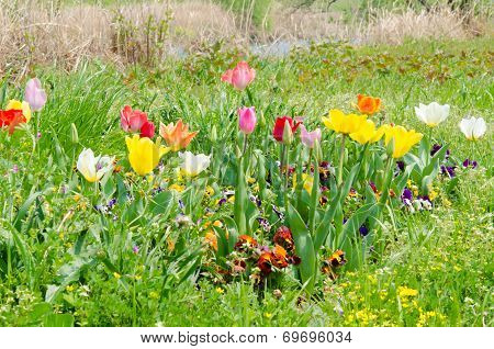 Flowers Of Tulips Are Blooming In The Grass