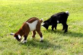 foto of baby goat  - Two baby goats on a farm are outside grazing and eating grass.