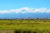 stock photo of kilimanjaro  - Ostriches Kilimanjaro in Amboseli National Park Kenya  - JPG