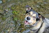 foto of shepherds  - A happy German Shepherd mix dog is looking at the camera as he swims in a small stream on a summer day - JPG