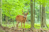 picture of buck  - Whitetail Deer Buck In Velvet standing in the woods - JPG