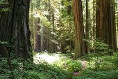 stock photo of redwood forest  - A trail through a redwood forest - JPG