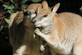 picture of wallabies  - Wallabies sharing a meal and having a chat - JPG