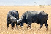 stock photo of sparring  - Two cape buffalo  - JPG