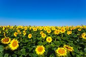 stock photo of sunflower  - Beautiful landscape with sunflower field on background blue sky - JPG
