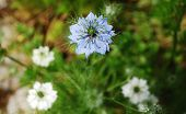 image of boutonniere  - A blue Cornflower Centaurea Cyanus also known as bachelor - JPG