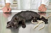 pic of veterinary surgery  - Animal surgery cat under anesthesia veterinary prepare it for operation - JPG