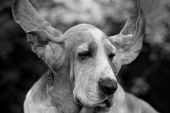 pic of basset hound  - Basset hound dog, black and white image erect ears.