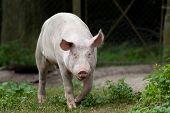 stock photo of pig-breeding  - White pig staring at camera on farm - JPG