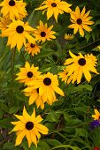 stock photo of black eyes  - A wild arrangement of tall black eyed susans - JPG