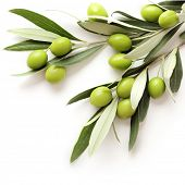 foto of olive trees  - green olives on white background - JPG