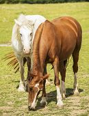pic of feeding horse  - A brown and a white horse feeding on the field - JPG