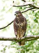 image of buzzard  - Common buzzard resting and hiding in its habitat - JPG