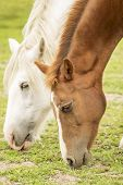 picture of feeding horse  - A brown and white horses feeding on the field - JPG