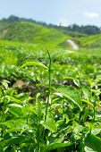 picture of cameron highland  - Tea leaves on tea plantation in Cameron Highlands Malaysia