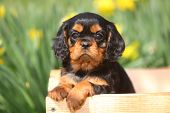 image of wagon  - An adorable Cavalier King Charles puppy sits in an unfinished wood wagon. ** Note: Visible grain at 100%, best at smaller sizes - JPG