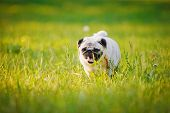 image of pug  - Pug walking on a grass in a summer park - JPG
