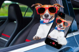 picture of driving school  - dog leaning out the car window making a selfie for the family - JPG