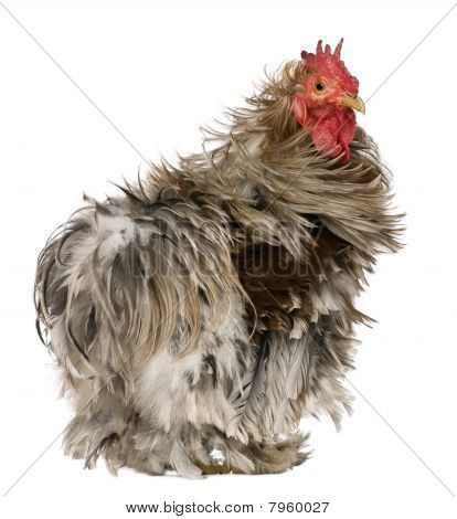 Curly Feathered Rooster Pekin, 1 Years Old, Standing Against White Background
