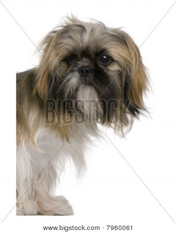 Shih Tzu, 3 Years Old, Peering Around White Board Against White Background