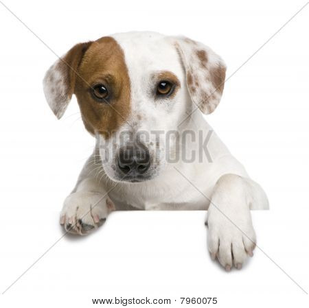 Jack Russell Terrier, 1 Year Old, Against White Background