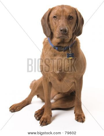 Picture or Photo of Wrigley the dog sitting for her portrait in the studio on a white background.
