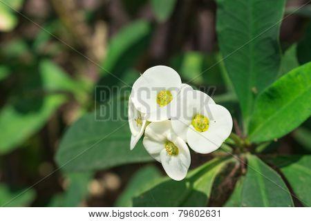 white Euphorbia milli Desmoul flower