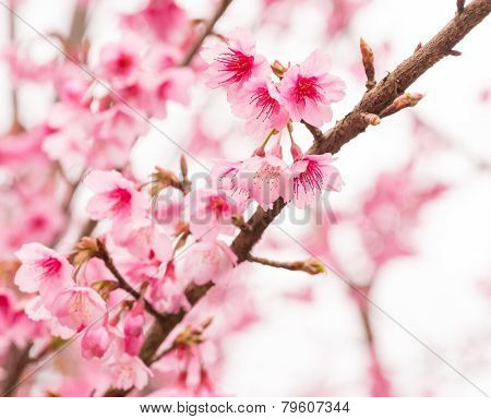 Thai Sakura In Winter On Tree, Prunus Cerasoides
