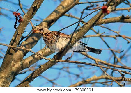 Fiedfare, Turdus Pilaris, Eats Red Berries