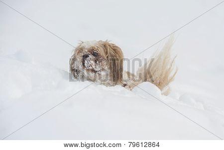 Dog shih tzu playing in snow