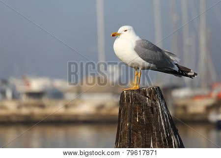 Gull Over The Pole To Moor Ships