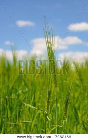 Corn on field.