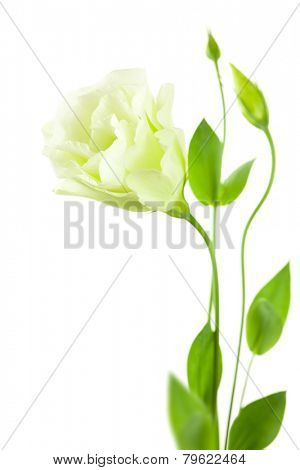 Delicate white Eustoma (Lisiantus) Flower with leaves and buds /  isolated with copy space