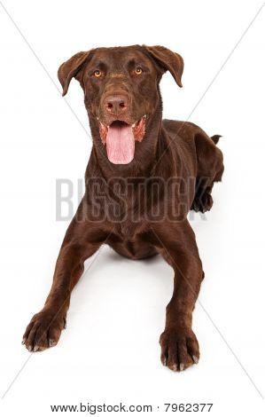 Chocolate Labrador Retriever Isolated On White