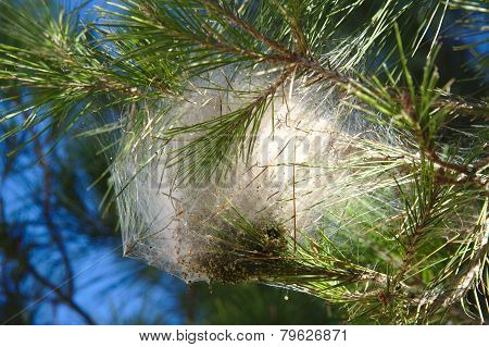 Nest of pine processionary moth on a branch
