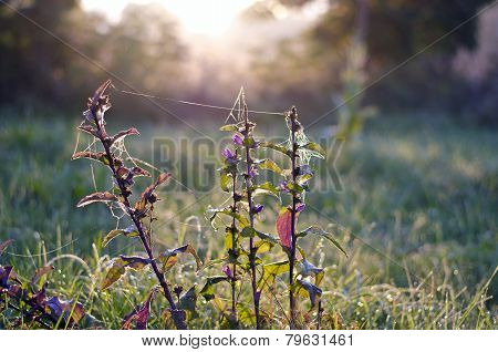 Summer Bellflower With Dewy Spider-web In Morning Light
