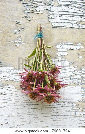 Purple Medical Perennial Cone Flowers Echinacea Purpurea Bunch