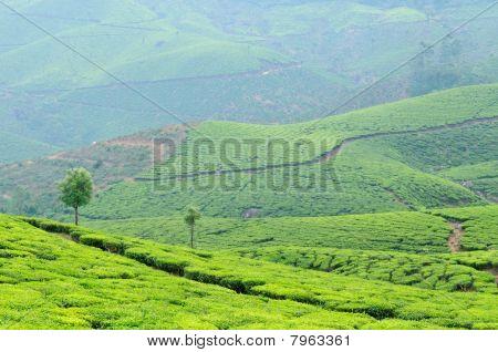 India, Tea Plantation