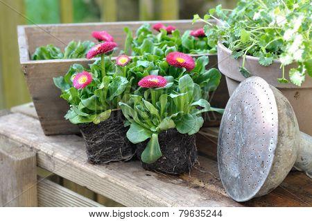 Daisies Seedlings