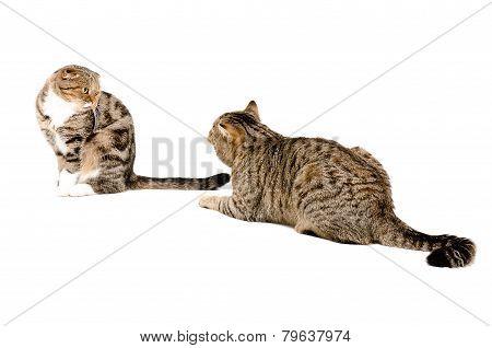 Courtship cats